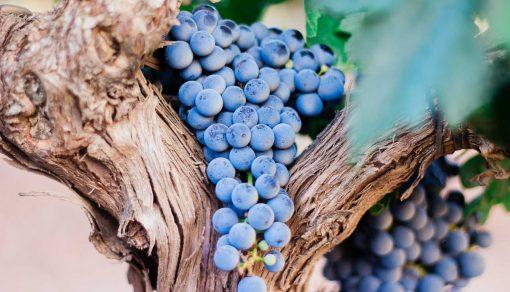 poama proaspata de consum sau vin