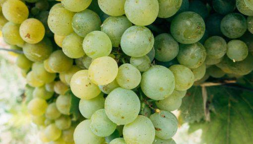 struguri albi pentru vin moldovenesc