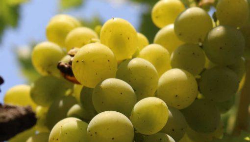 poama alba pentru producerea vinului