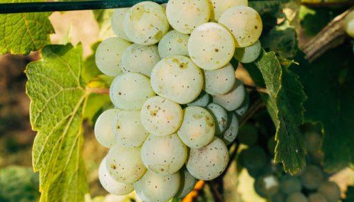 soi de struguri albi produs in moldova