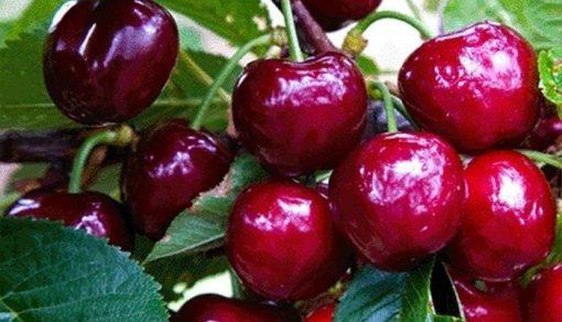 cirese sweetheart fruit agro