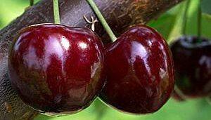 cirese kordia fruit agro