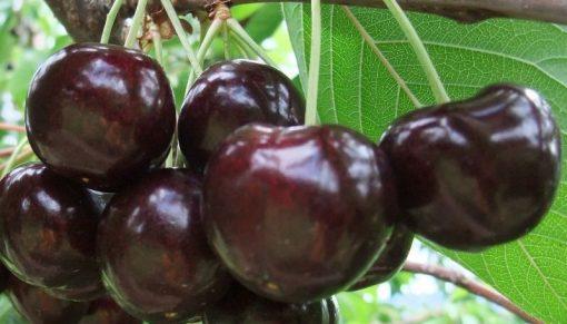 cirese skeena skina fruit agro