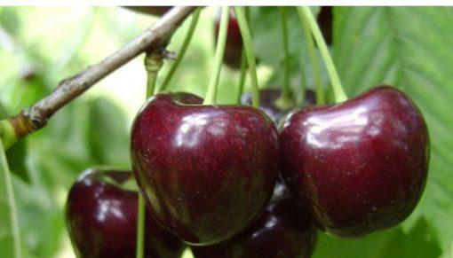cirese regina fruit agro